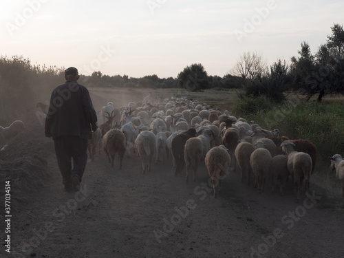 rural shepherd drives sheep, goats and rams to pasture Fototapeta