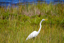 A Great White Egret (Ardea Alba) Walking In The Tall Reeds In A Marsh. This Is A Large Waterbird Living Across The USA. This Image Was Taken At The Wildlife Refuge In Assateague Island.