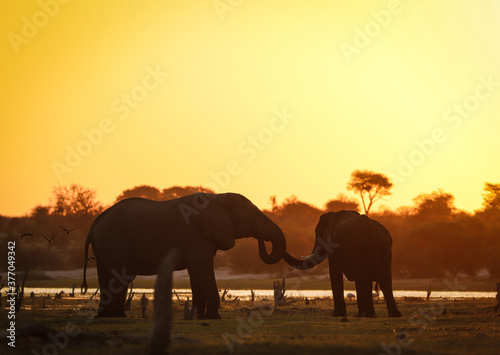 Obraz na plátne Elephants in an African sunset in Botswana