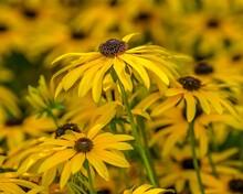 Black-eyed Susan Flowers, Bright Yellow Flowers With Dark Brown Center
