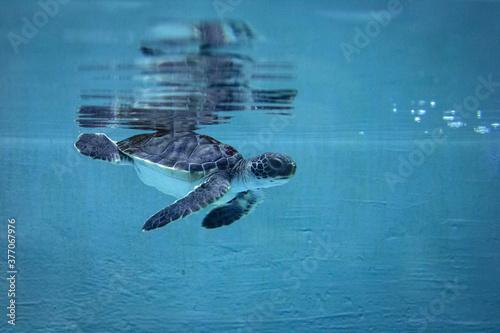 水槽のプールを泳ぐタイマイの子供(海亀ウミガメ)Hawksbill turtle Fotobehang
