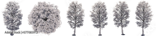 Set or collection of drawings of Maple trees isolated on white background Fototapet