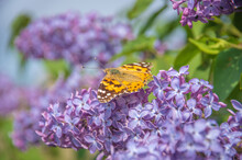 Closeup Of A Painted Lady Butterfly (Cynthia Cardui, Vanessa Cardui) On Purple Lilac Flowers Drinking Nectar By Seaside