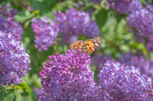 Closeup Of A Painted Lady Butterfly (Cynthia Cardui, Vanessa Cardui) On Purple Lilac Flowers Drinking Nectar
