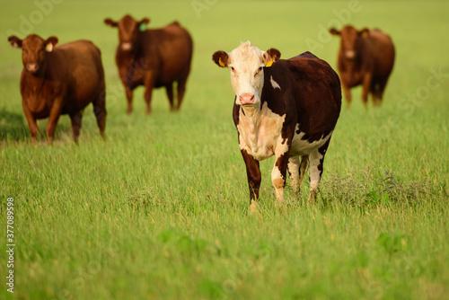 Fotografie, Obraz Cows in a grassy field on sunny day