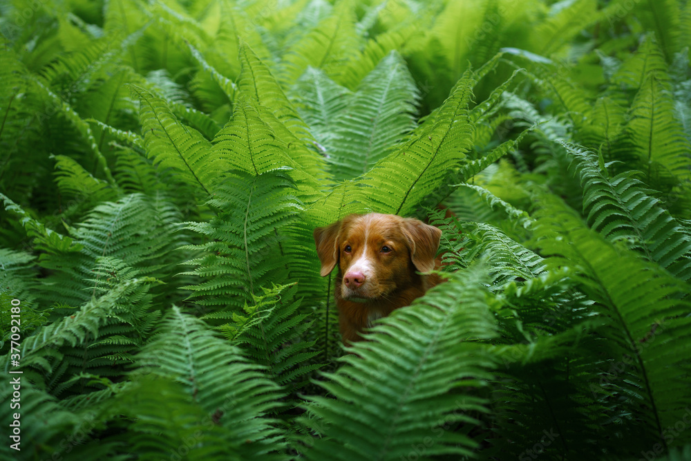 Fototapeta dog in the fern. Nova Scotia Duck Tolling Retriever in the forest. Tropics. Traveling with your pet