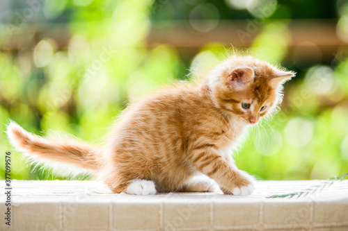 Fototapety, obrazy: adorable playful red orange fluffy kitten on sunny day