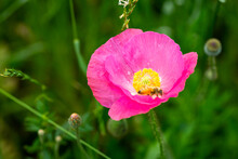 Close Up Of Pink Poppy With Honey Bee Pollenating Flowers Planted In A Field For Remembrance And For PTSD, Suicide Awareness, Salute To Military And Fallen Heroes.  Selective Focus, Bokeh. Beekeeper