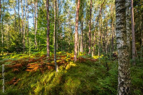 Jesienne drzewa, brzozy w lesie - 377109181