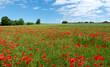 Rote Mohnblumen in der grünen Wiese einer idyllischen ländlichen Szene