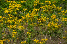 Common Ragwort (Jacobaea Vulga...