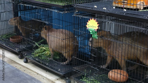 Capybaras in small cages on market Fototapete