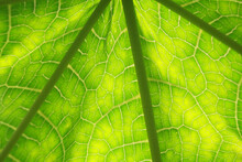 The Leaves Of The Papaya Tree ...