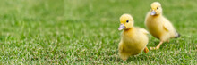 Small Newborn Ducklings Walking On Backyard On Green Grass. Yellow Cute Duckling Running On Meadow Field In Sunny Day. Banner Or Panoramic Shot With Duck Chick On Grass.