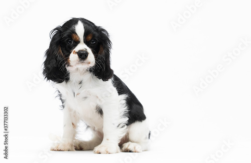 Photographie Cavalier king charles spaniel dog puppy looking