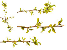 Pear Tree Branch With Small Gr...