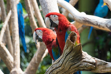 Close Up  Red  Macaw On A Branch