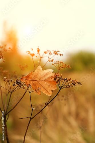 Obraz autumn nature background with oak leaf and dry grass. fall seasonal landscape.  - fototapety do salonu