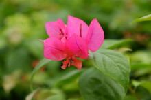 Close Up Of Red Bougainvillea On Blurred Background. Single Bougainvillea Flower Isolated On Green Background