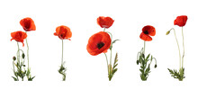 Set Of Beautiful Red Poppy Flowers Isolated On White. Banner Design