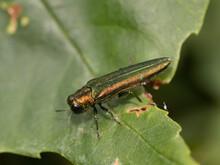 Agrilus Planipennis (Emerald Ash Borer) Close-up