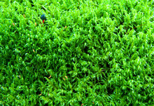 Thick Green Fluffy Moss