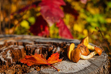 Freshly Picked Oily Mushrooms In Wild Forest Lying On The Stump With Colorful Autumn Leaves. Selective Focus.