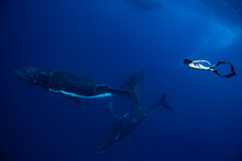 A Female Free Diver Swimming With Humpback Whales