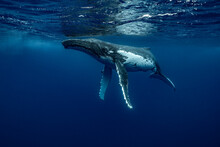 A Humpback Whale Portrait With...