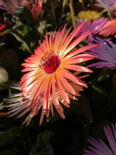 Orange Livingstone Daisy, Bokb...
