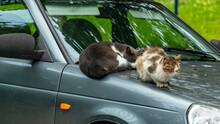 Two Stray Cats Sleep On The Ho...