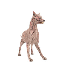 Zombie Dog Is On Alert Pose And Isolated In White Background