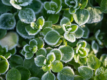 Fresh Green Plants Covered With Hoarfrost