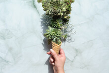 Sempervivum Succulent Plants I...