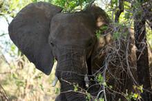 African Elephant Hiding