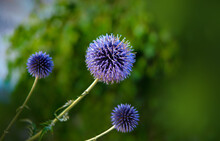 Purple PomPom Flower