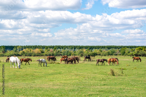 Herd of white and brown horses grazing freely on a large meadow Canvas Print