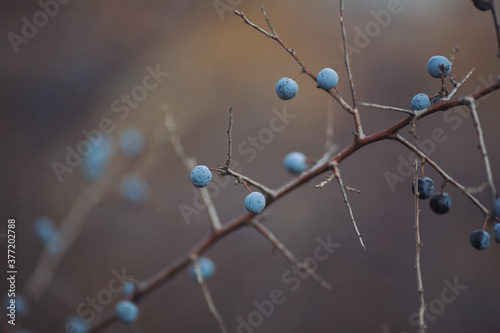 Fototapety, obrazy: Sloe berries on the branches. Romantic autumn still life with blackthorn or sloes. Wrinkled berries of blackthorn on a bush on late Fall