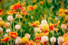 Blooming Gaillardia Aristata I...