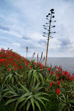 Aloe Plants Blooming With Red Flowers Along The Coast Of Madeira Island, Portugal