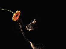 Grey Cat Playing With Sunflowe...