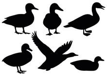 Domestic And Wild Ducks.