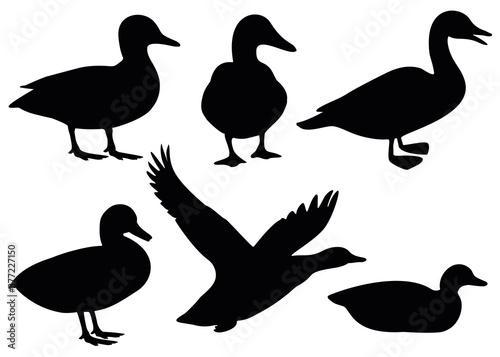 Domestic and wild ducks. Fototapet