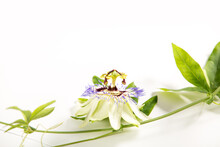 Passion Flower (Passiflora Incarnata). The Leaves And Stems Are Sedative. The Purple Passionflower Isolated On White Background