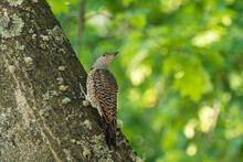 One Northern Flicker Bird Rest...
