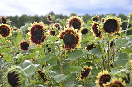 Obraz na plátně Visite dans un champs de fleurs