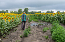 Mature Man Walking On A Dirty Road Between Agricultural Fields With Sunflowers In Ukraine