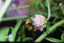 Early Bumblebee On Flowerhead