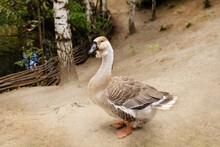 Light Brown Goose With Black B...