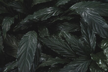 Large Dark Green Leaves Background, Top View